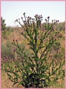 They grown these thistle BIG in the desert!